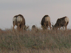 cattle(0.0), cattle-like mammal(1.0), animal(1.0), prairie(1.0), steppe(1.0), wildebeest(1.0), plain(1.0), mammal(1.0), herd(1.0), grazing(1.0), fauna(1.0), pasture(1.0), savanna(1.0), grassland(1.0), wildlife(1.0),