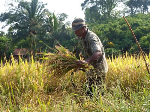 шри-ланка, урожай риса
