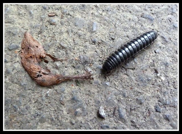 MILLIPEDE on a  FOREST ROAD in NORTHERN OKINAWA