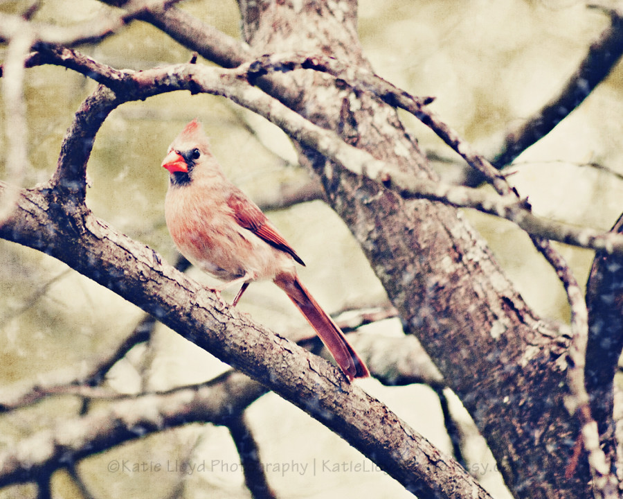cardinal-female-in-snow---8