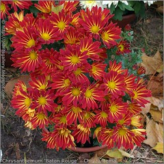 Chrysanthemum 'Baton Rouge' - Chryzantema