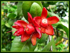 Flower-like red calyxes of Ochna kirkii (Mickey Mouse Plant, Bird's Eye Bush)