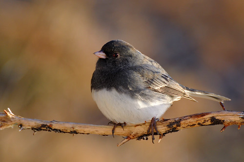 Bright-eyed Junco