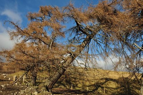 Gravity defying trees