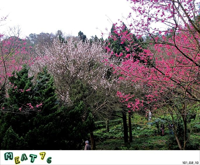 【遊記】陽明山國家公園|櫻花乍現在粉紅意境的花花世界11
