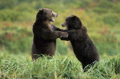 Upright dancing fighting bears
