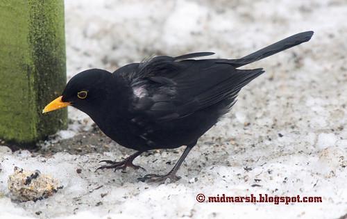 Blackbird IMG_3722