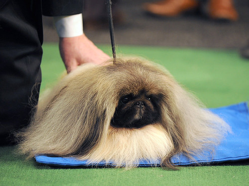 Westminster Kennel Club Dog Show Best in Show Winner