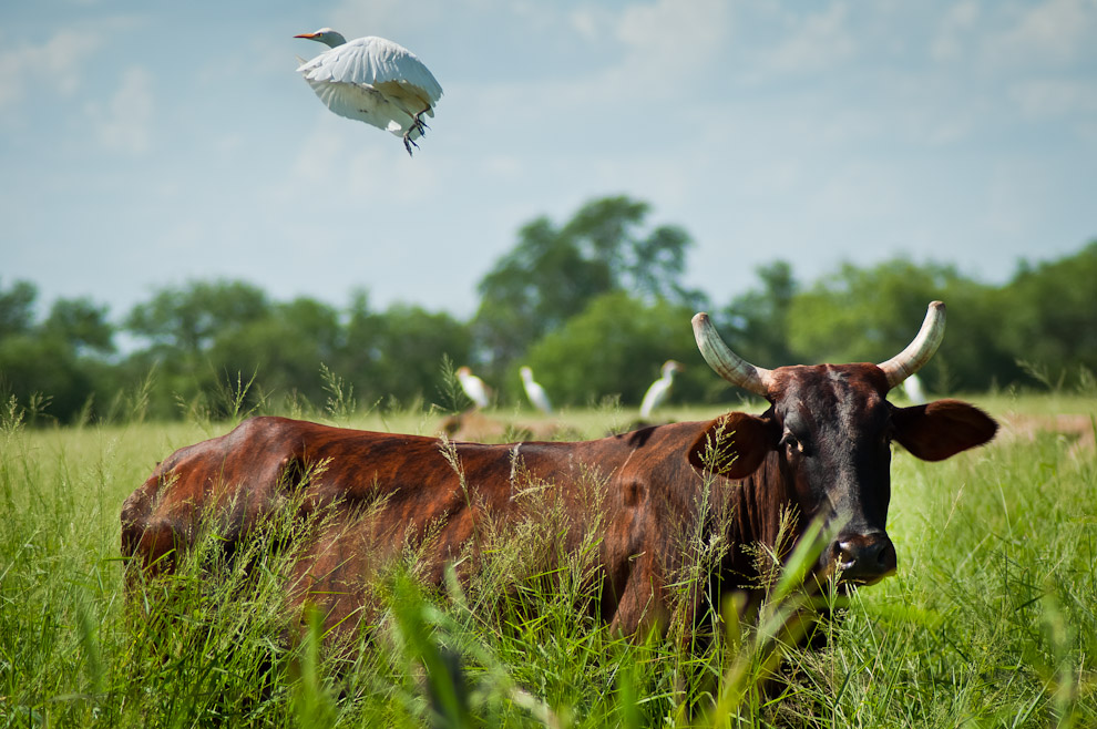 Una Garcita Bueyera (Bubulcus ibis) se aleja del lomo de la vaca en la que estaba reposando. Como su nombre lo indica es una de las especies de garzas blancas usualmente relacionadas al ganado, ya que se alimentan de los insectos que se encuentran sobre estos animales. (Elton Núñez)