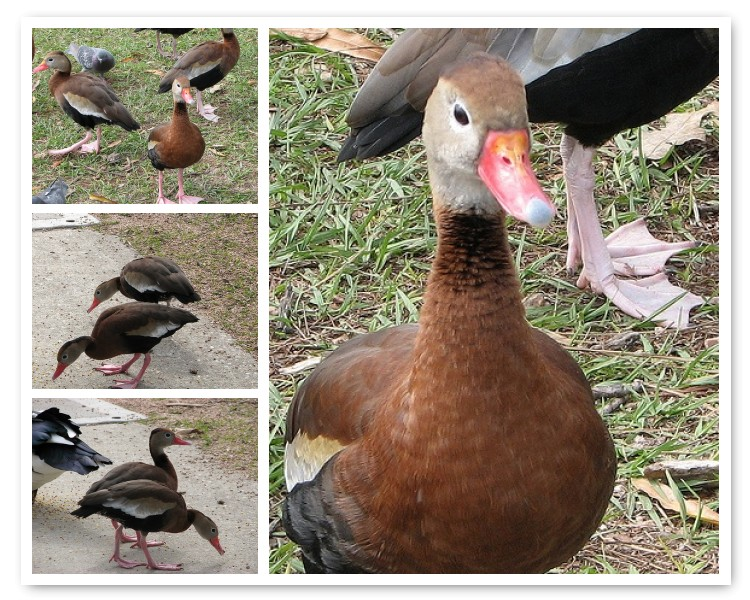 Whistling Duck Mosaic