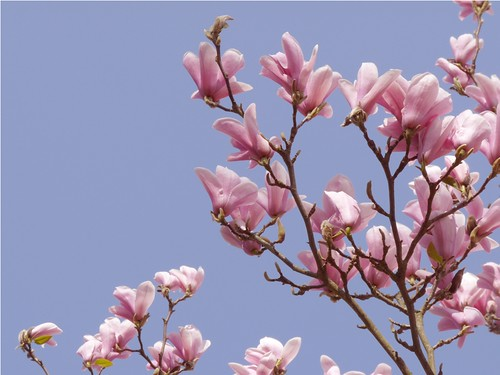 Magnolia by PhotoPuddle