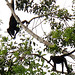Black Spider Monkeys (Kiera Griffin)