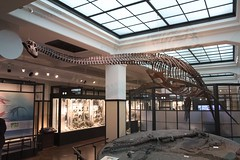 Futabasaurus (National Musem of Nature and Science, Ueno, Tokyo, Japan)