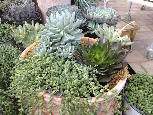 succulent plants, gardening