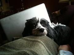 Stella on my lap