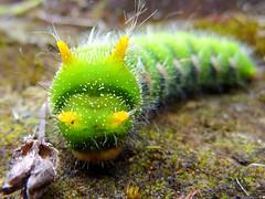 Caterpillars of Ecuador