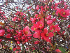 Flowering Quince by randubnick