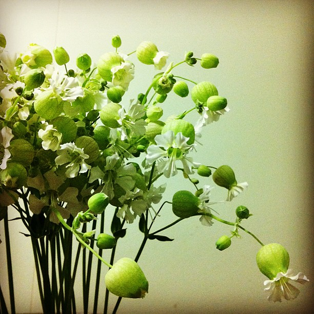 Photo:シレネ グリーンベル at.flower By kanonn