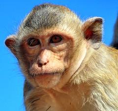 Lop Buri Macaque