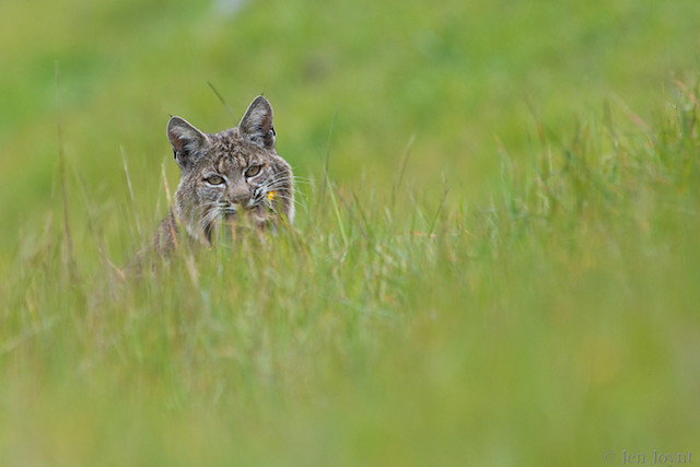 Bobcat Peaking Over the Grass
