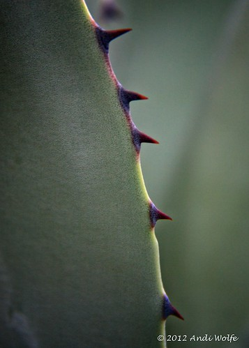 Agave leaf detail by andiwolfe