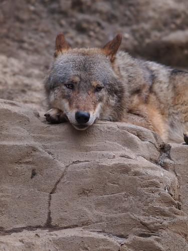 多摩動物公園 ヨーロッパオオカミ