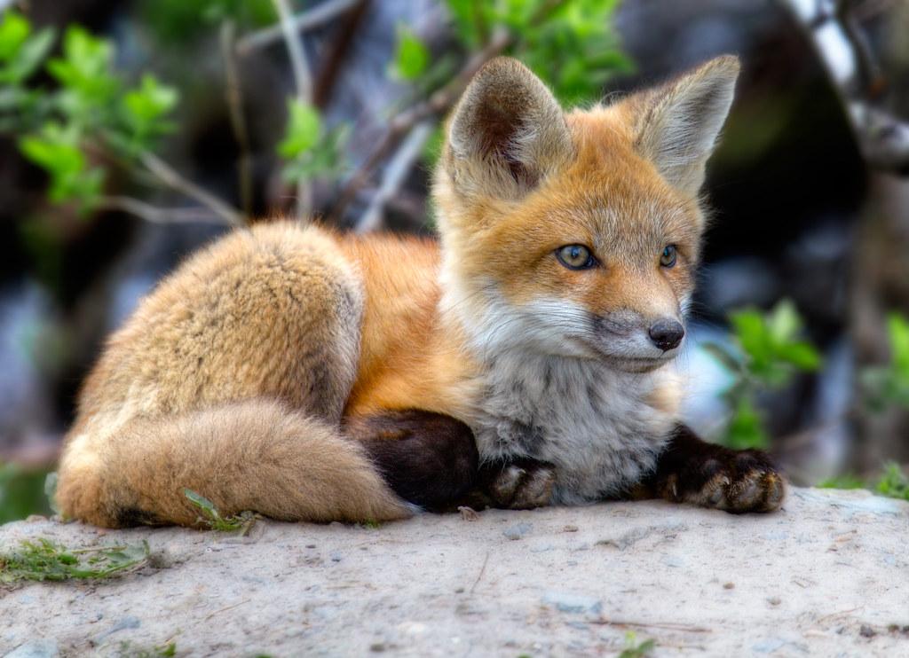 Renardeau - Fox cub