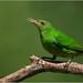 Green Honeycreeper by Raymond J Barlow