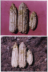 Mon, 03/12/2012 - 16:05 - White maize cobs with different severities of Aspergillus colonization. Photo by IITA. (file name: MA_PD_009).