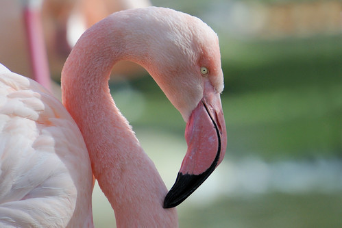 Flamingo in London Zoo-1-1