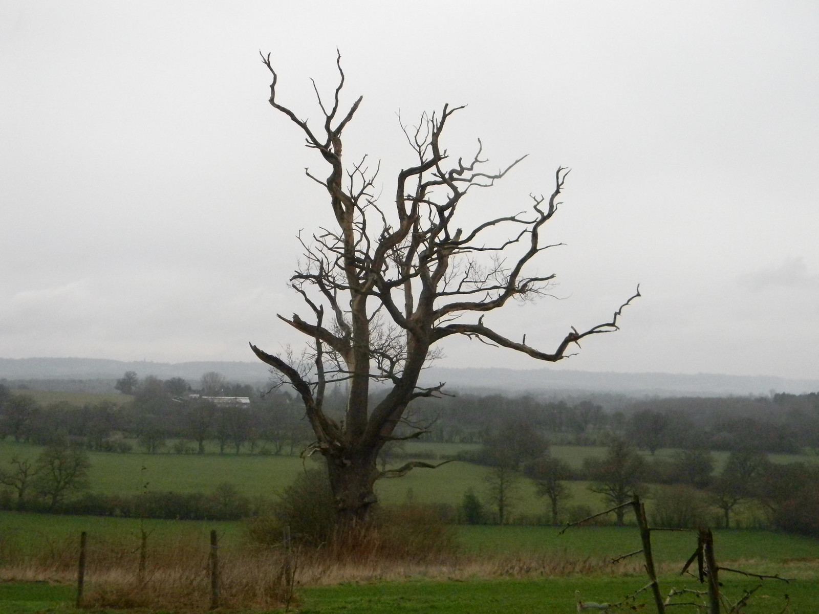 Staghorn tree, Eden valley Cowden to Hever