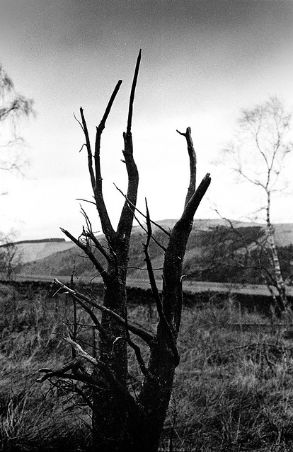 Dead Tree, Next to the Southern Upland Way, Near Yair, Scottish Borders