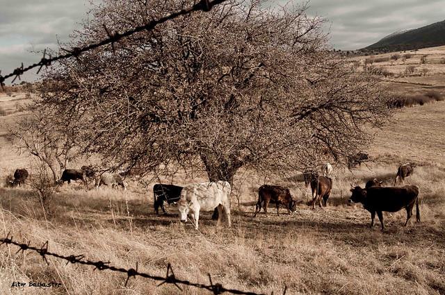 Vacas en Yazilikaya