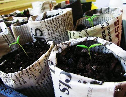 Paper Pots Seedlings Progress