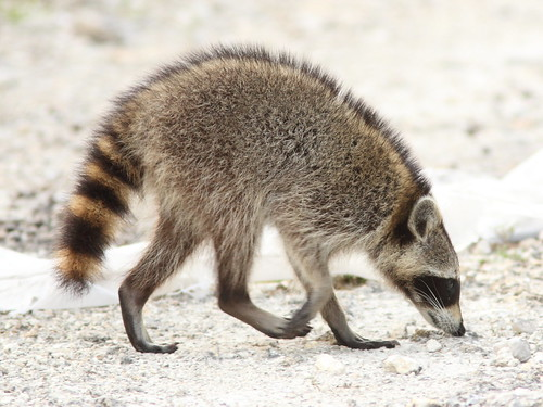 Raccoon 3-20120419