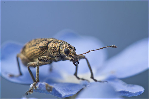 Weevil in Blue