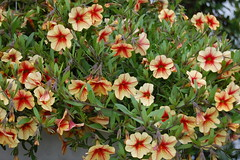 This calibrachoa is peachy