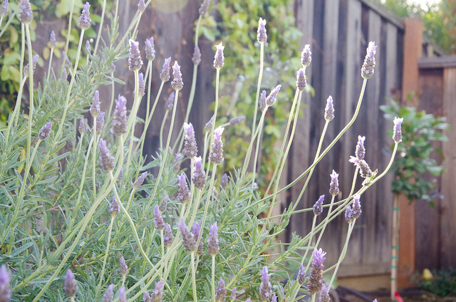 Lavender in our backyard