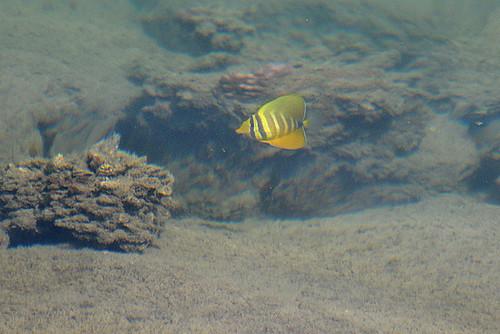 juvenile sailfin tang