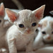Devon Rex Kittens by peter_hasselbom