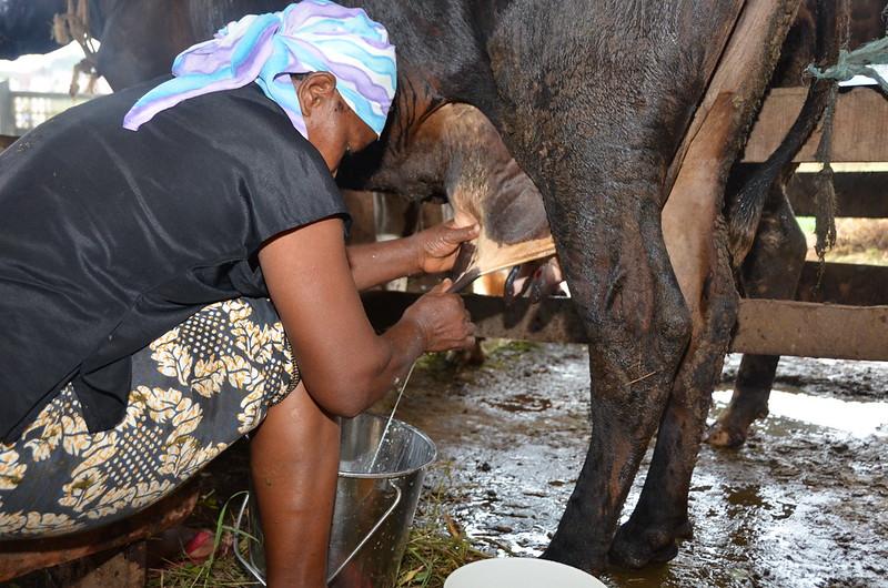 A cow is milked in Tanga, Tanzania.