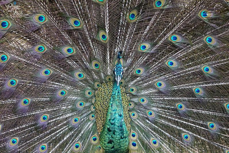 chiang rai peacock close up