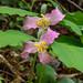 Trillium catesbaei (Catesby's Trillium) by jimf_29605