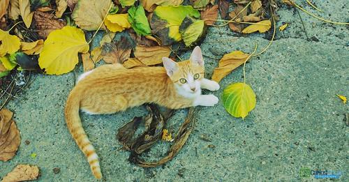 cute animal cat hojas adorable gato estacion mao otoño hd mirada amina rd republicadominicana gatito valverde carlosduran haltadefinicion
