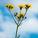 Dandelions in Clouds