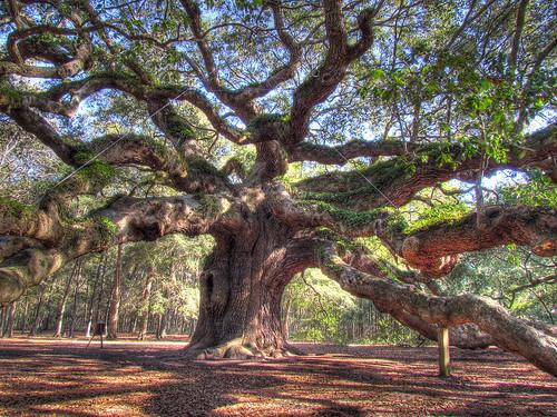 old sc oak quercus ancient southcarolina liveoak huge plantae oaktree hdr angeloak johnsisland fagaceae magnoliophyta magnoliopsida photomatix tonemapped quercusvirginiana fagales angeloaktree virentes sx30 estimatedover1500yearsold 5sourcefiles