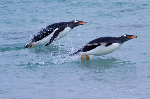 Synchronised Gentoo swimming by Derek Pettersson