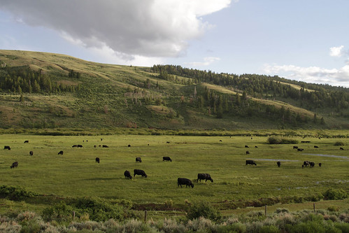 Cattle graze in meadows along South Piney Creek on the Fish Creek Flying W Ranch west of Big Piney in 2011. Photo by Mark Gocke, Wyoming Game and Fish Department.