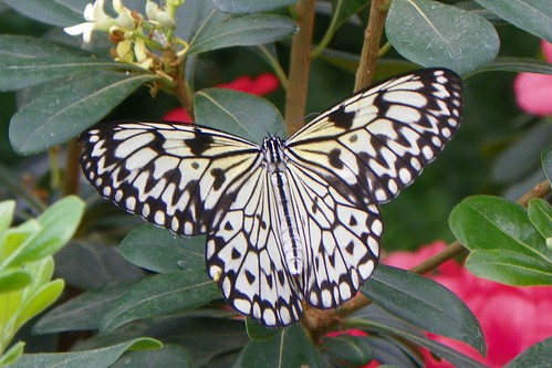 Paper Kite (Idea leuconoe)