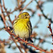 European Serin - Photo (c) Victor, some rights reserved (CC BY-NC-ND)